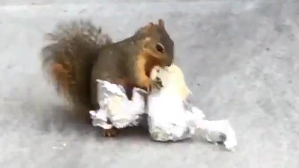 Squirrel Chows Down on Huge Burrito in Studio City, California