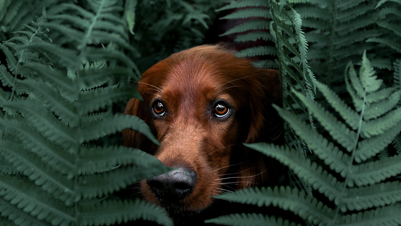 Irish Setter Troja Hikes the Moody Forests of Norway (PHOTOS)