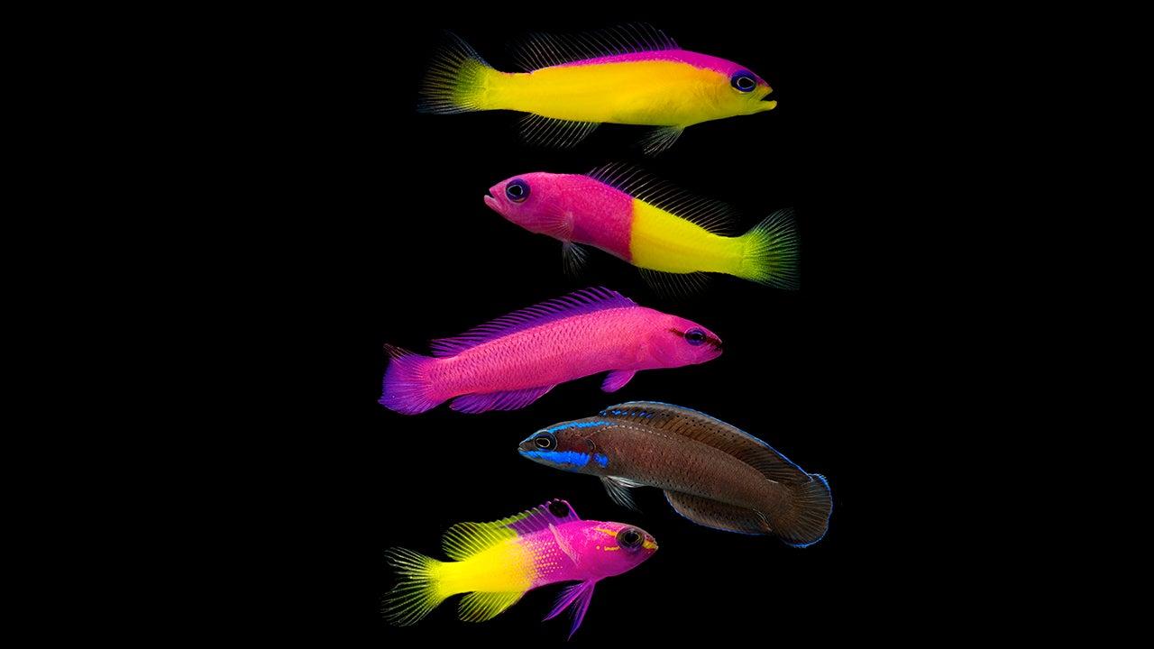 Diese Fische leben in völliger Dunkelheit - warum sie trotzdem leuchten