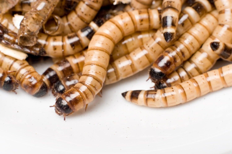 Mehlwürmer Essen Gefährlich