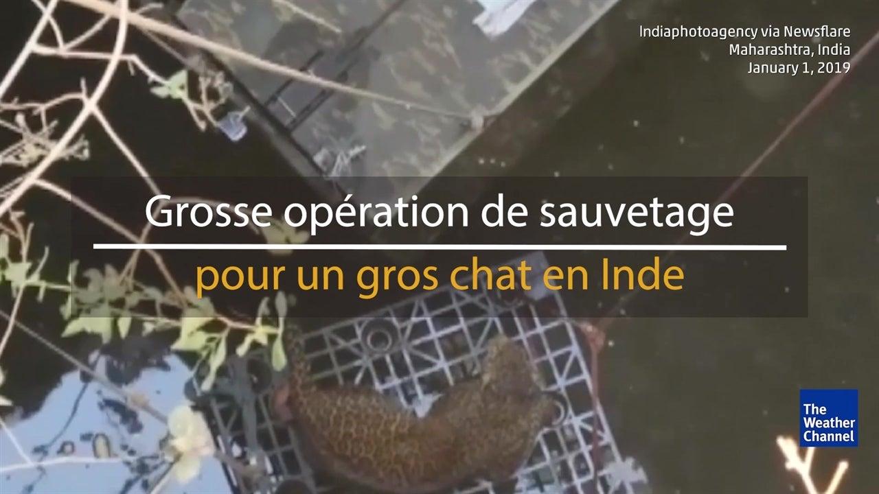 Un léopard sauvé de la noyade en Inde