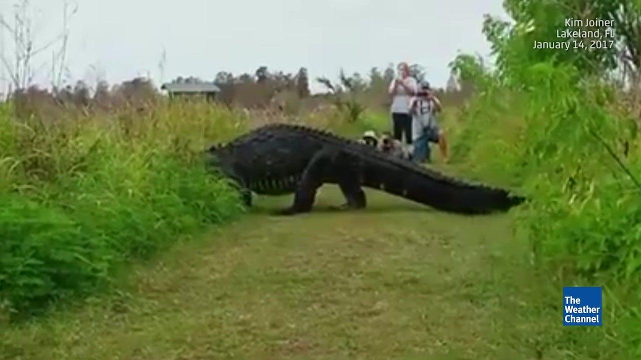 Der Alligator ist so groß wie ein Kleinwagen!