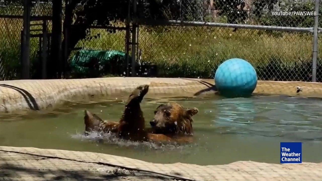 Handicapped bear has a better life