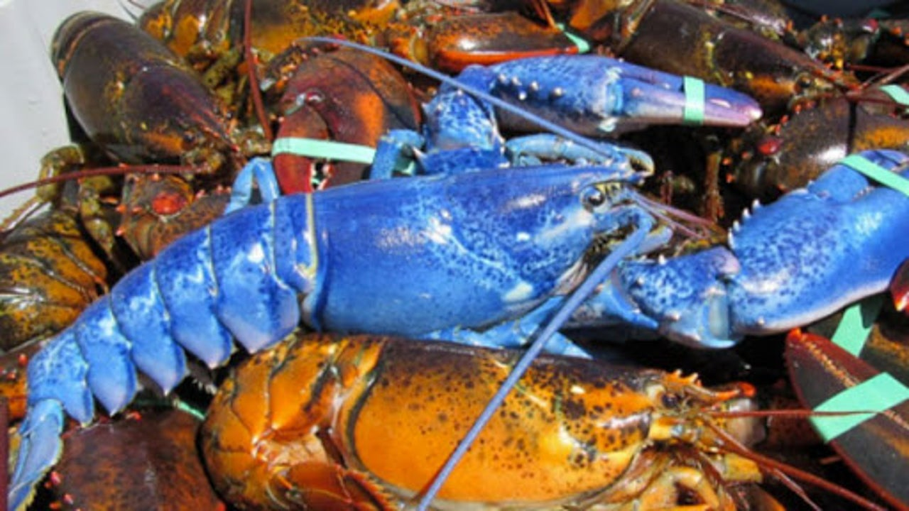 Blue Lobster Caught Off of Massachusetts Coast