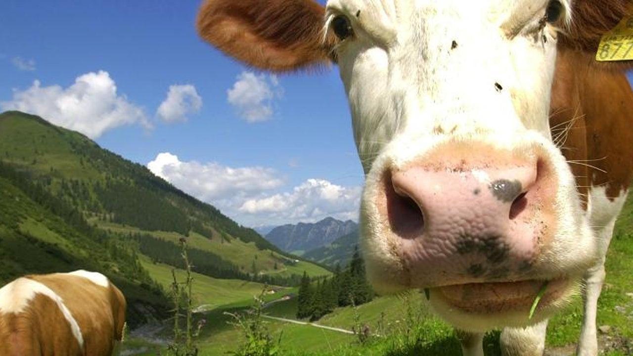 Kuh-Attacken? Tirol veröffentlicht Regeln für einen Almbesuch