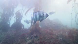 Did This Fish Hitch Ride to California on Tsunami Debris?