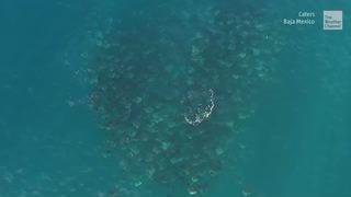 Hundreds of Rays Captured Migrating off the Coast of Mexico