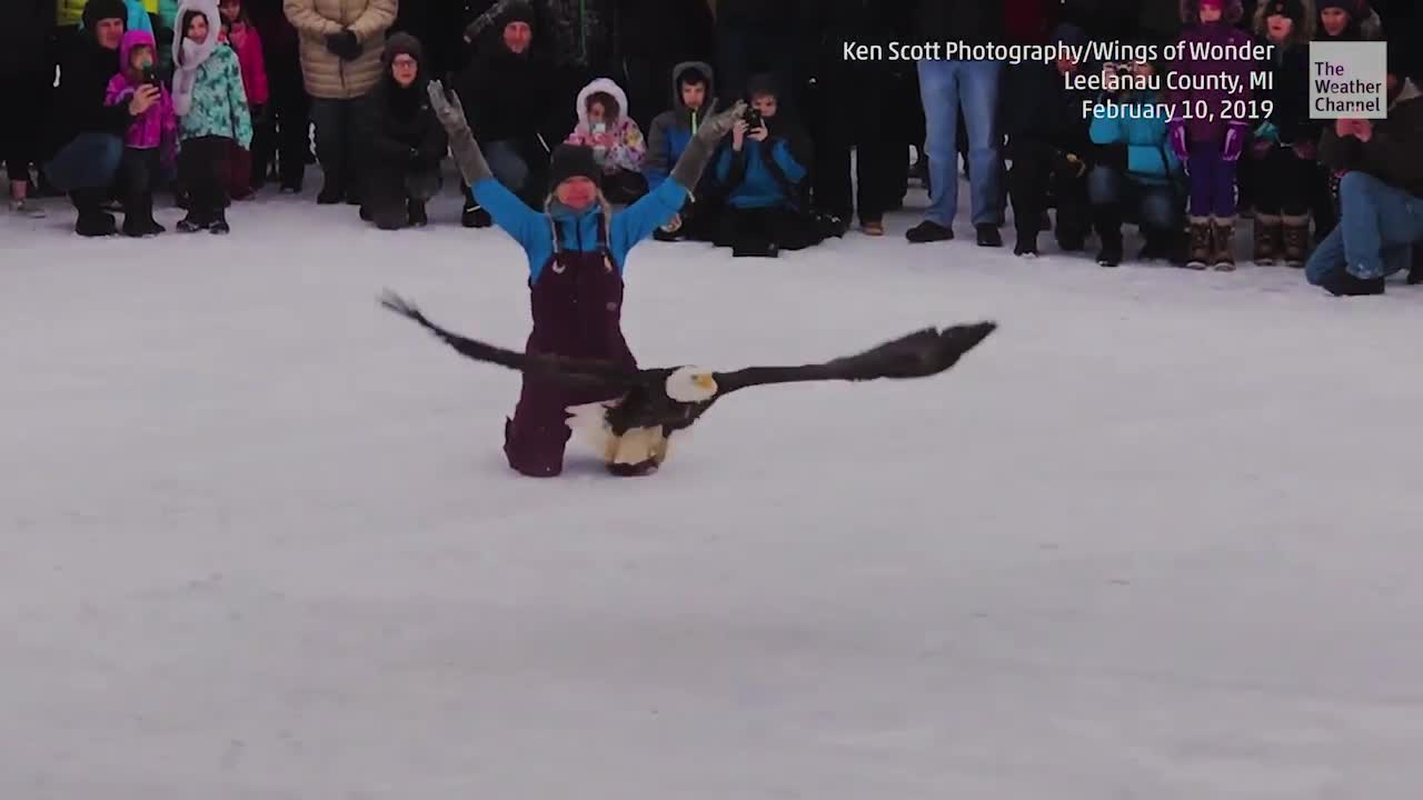 Bald Eagle Rescued After Being Trapped in Ice on Lake Michigan