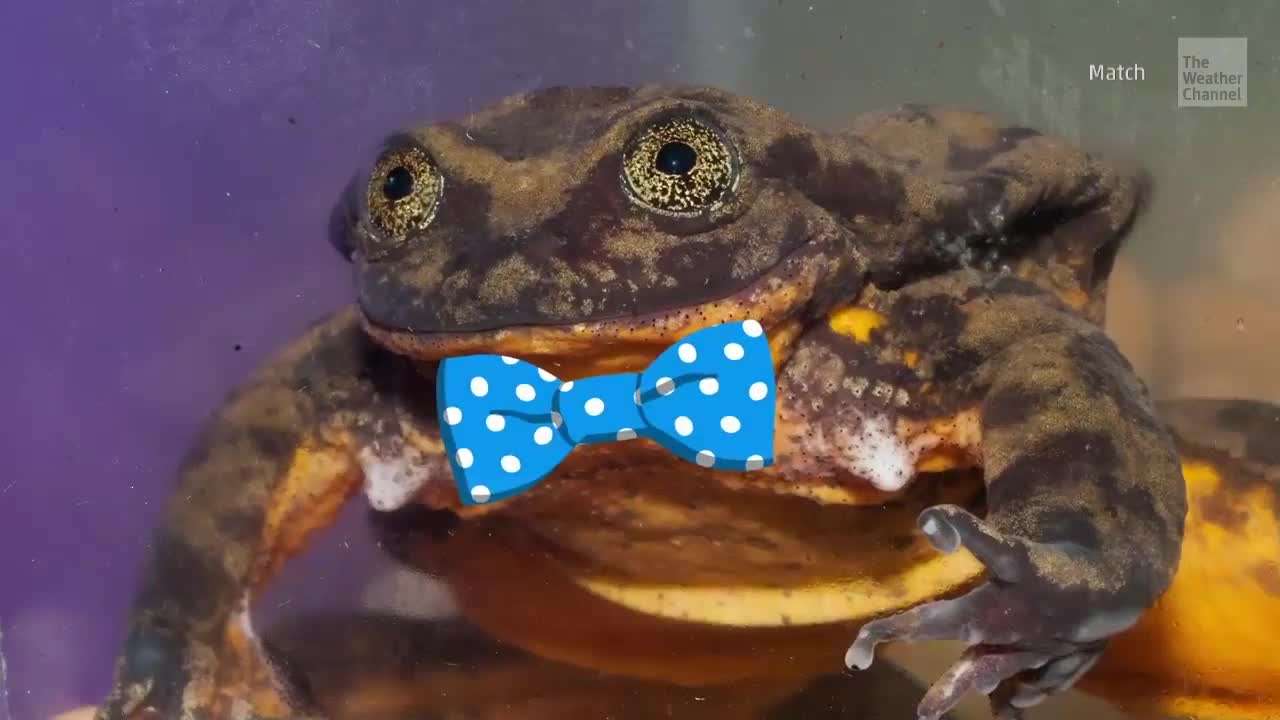 Nearly Extinct Frog's Love Connection Could Save Species