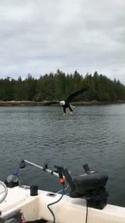 Eagle Steals Bait in Canada
