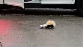 Skunk's Head Stuck in Cup, Officer Comes to Rescue
