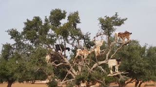 Are Goats in Trees Being Abused?
