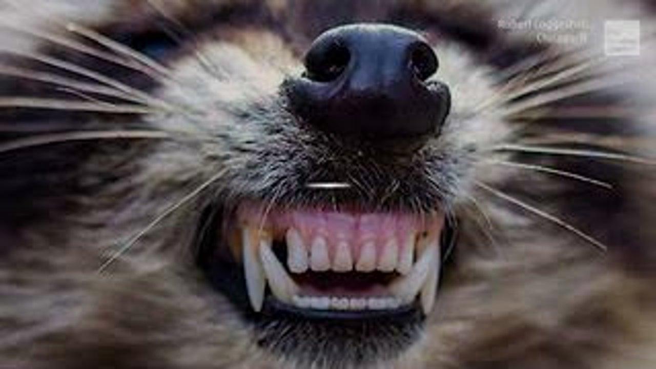 """Mapaches zombies"" amenazan a perros en Chicago"