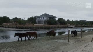 Tourists' unleashed dogs are harassing and biting wild horses on North Carolina's Outer Banks. Here's why that's dangerous.
