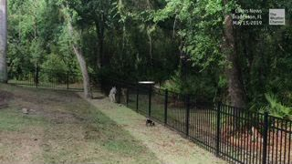 A rescued German shepherd had an unusual visitor when a deer showed up outside the home near Sarasota, Florida.