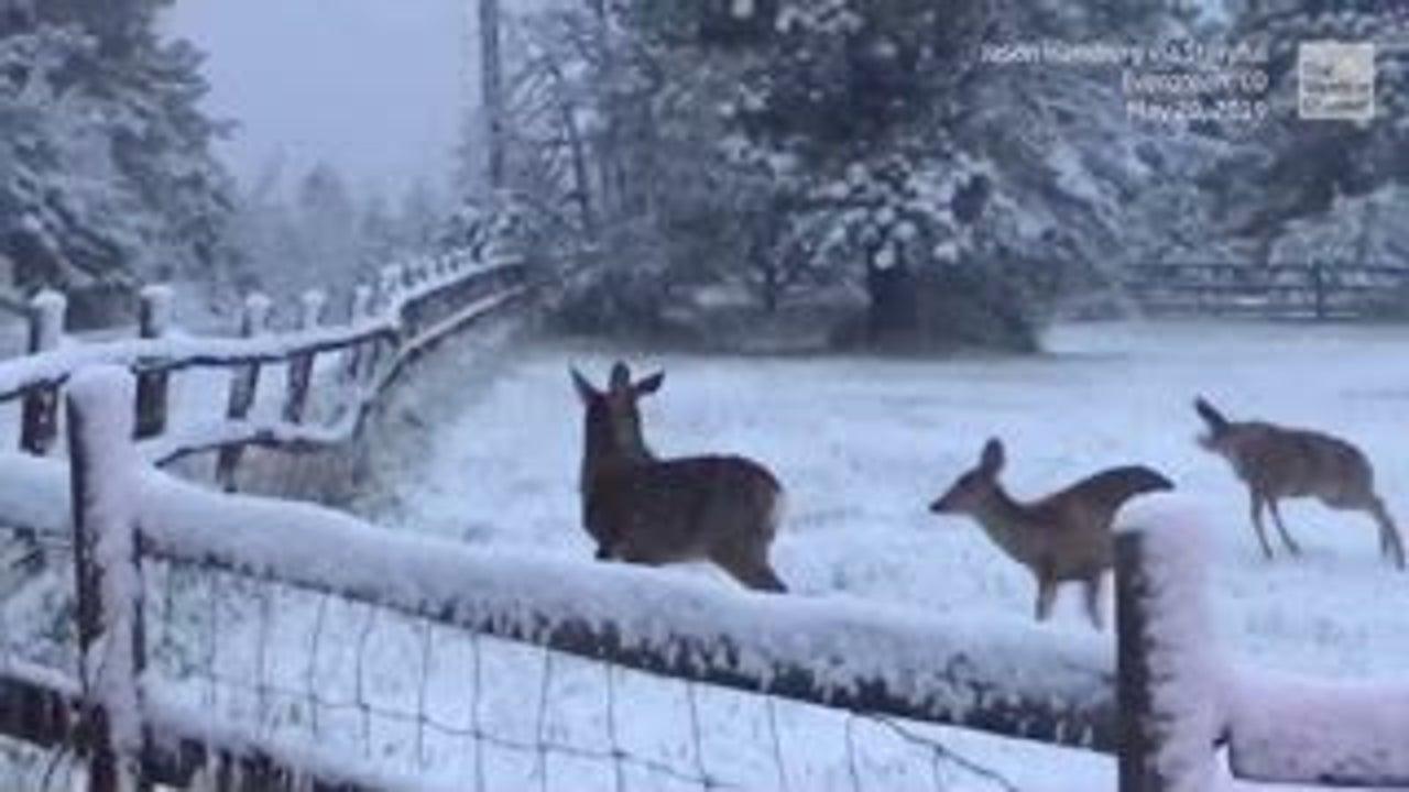 Colorado Park Ranger Helps Deer Cross the Road