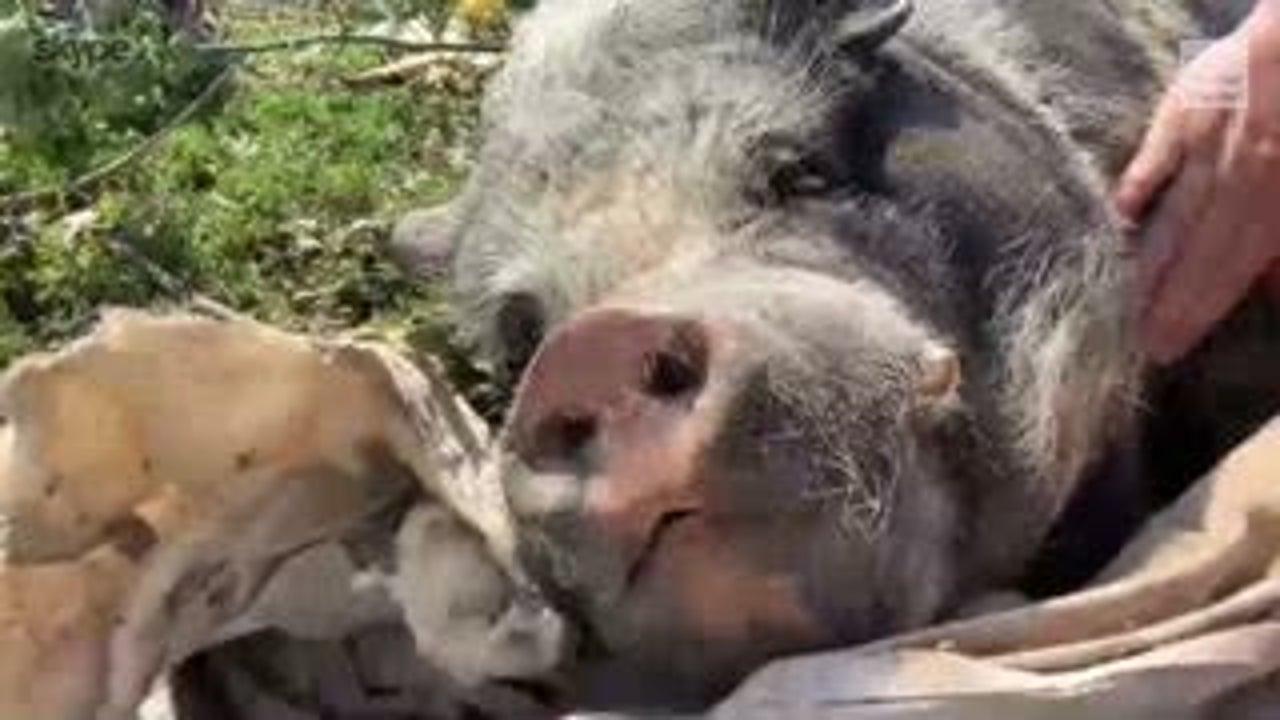 Pet Pig Survives Strong Tornado