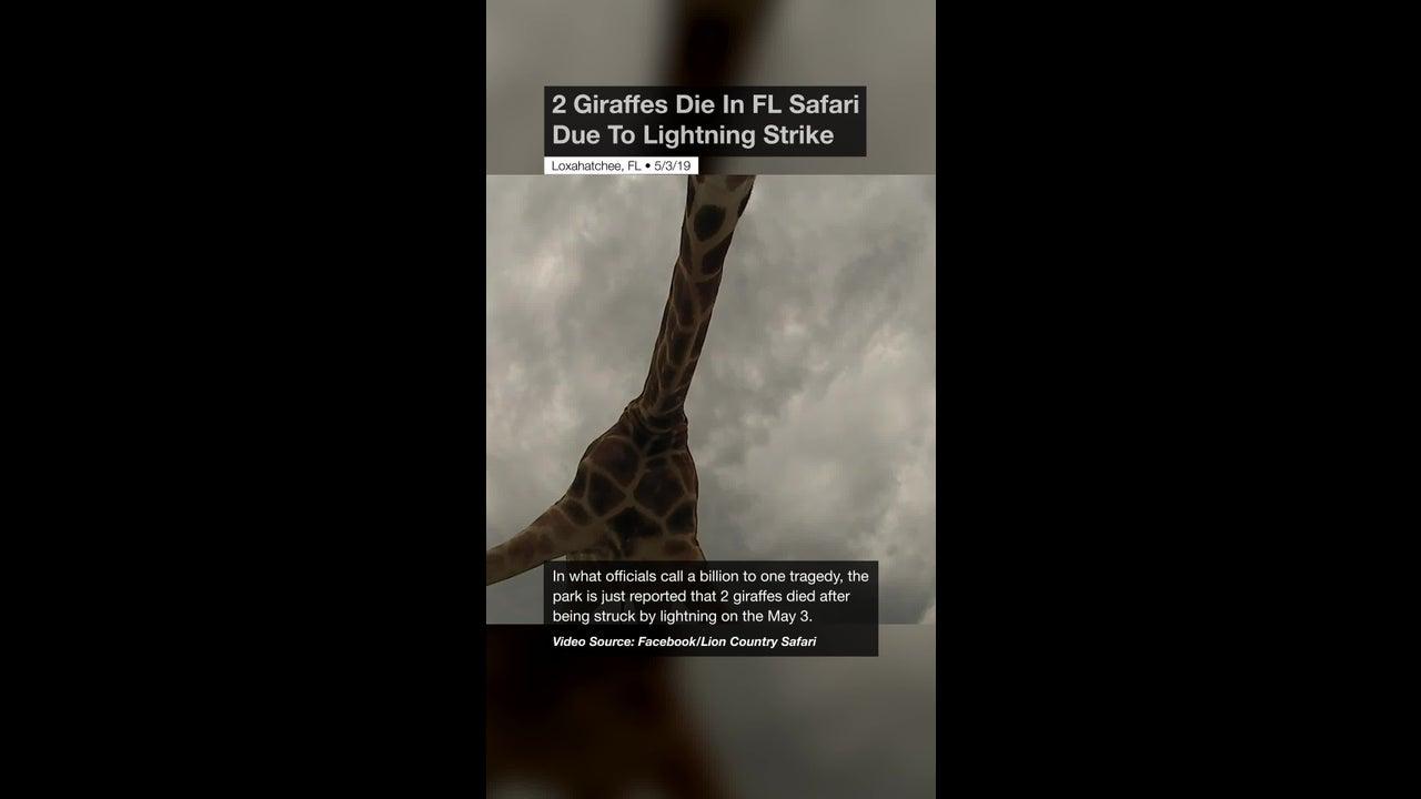 2 Giraffes Die In FL Safari Due To Lightning Strike