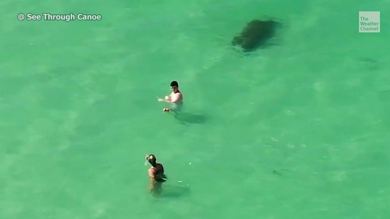 Gemütlich schwimmt eine Rundschwanzseekuh in den Gewässern vor St. Petersburg in Florida. Doch trotz des kristallklaren Wassers und ihrer Größe, scheinen die Badegäste sie nicht zu bemerken.