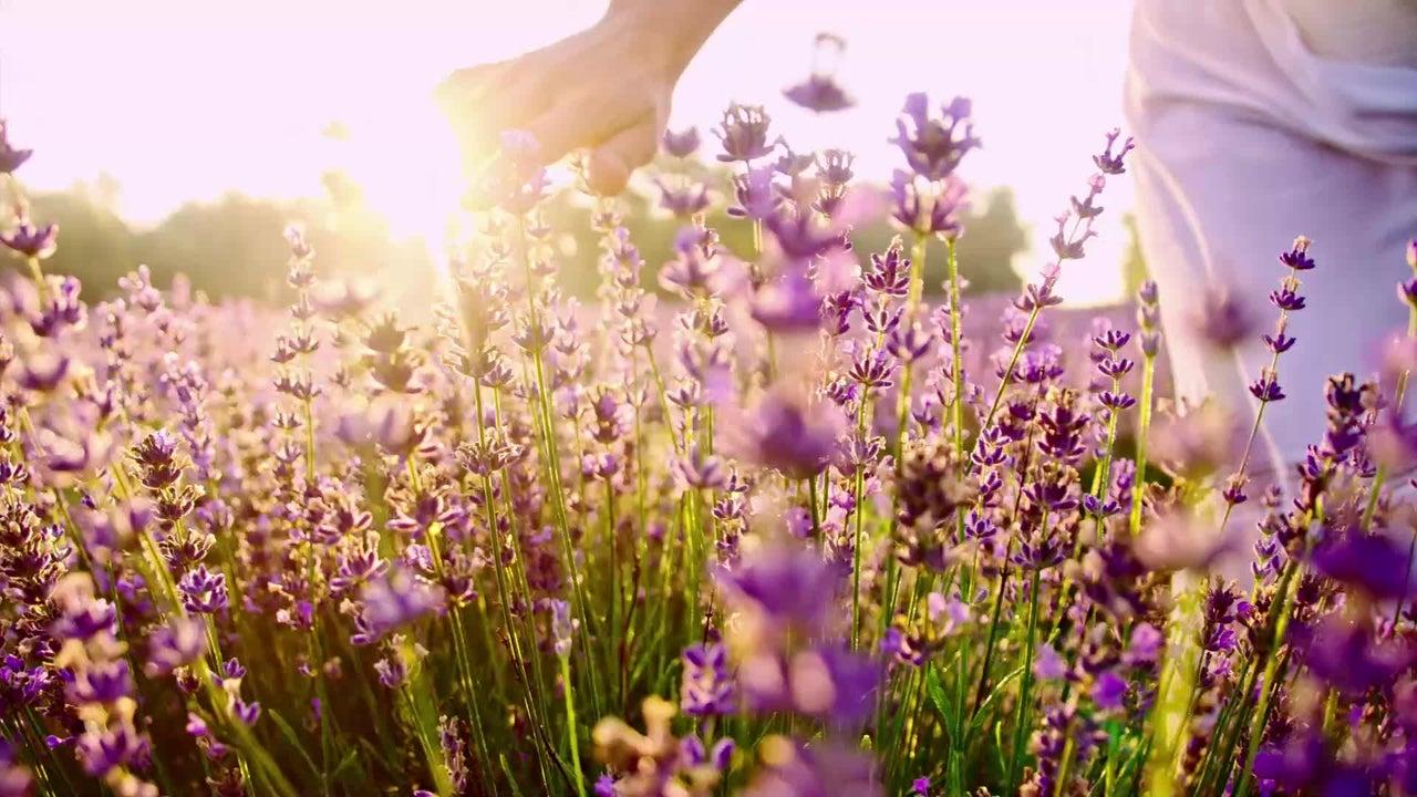 Lavendel hat viele Vorzüge. Er ist nicht nur eine hübsche, aromatisch duftende Zierpflanze, sondern auch ein schmackhaftes Küchenkraut und ein sinnvoller Beitrag zur ökologischen Vielfalt. So sollten Sie ihn pflegen.