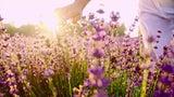 Vielfältiger Lavendel – die wichtigsten Tipps für Beet und Blumentopf