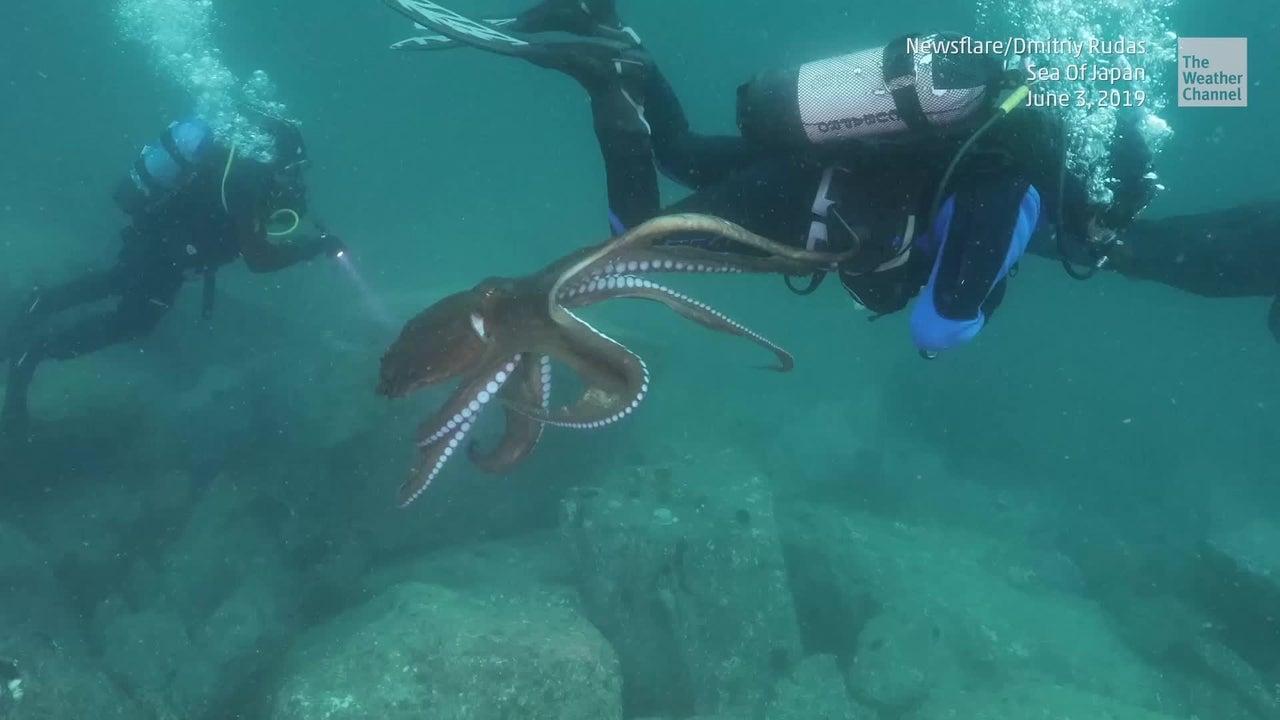 An Der Westküste von Japan will ein anhänglicher Oktopus nicht von einem Taucher ablassen. Ein weiterer Taucher filmt das Geschehen.