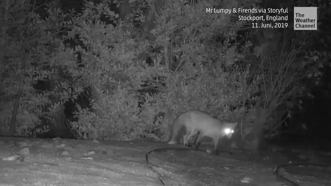 Ein Fuchs und ein Dachs treffen in der Nacht aufeinander. Natürliche Feinde sind die beiden nicht, doch was dann passiert, überrascht trotzdem.