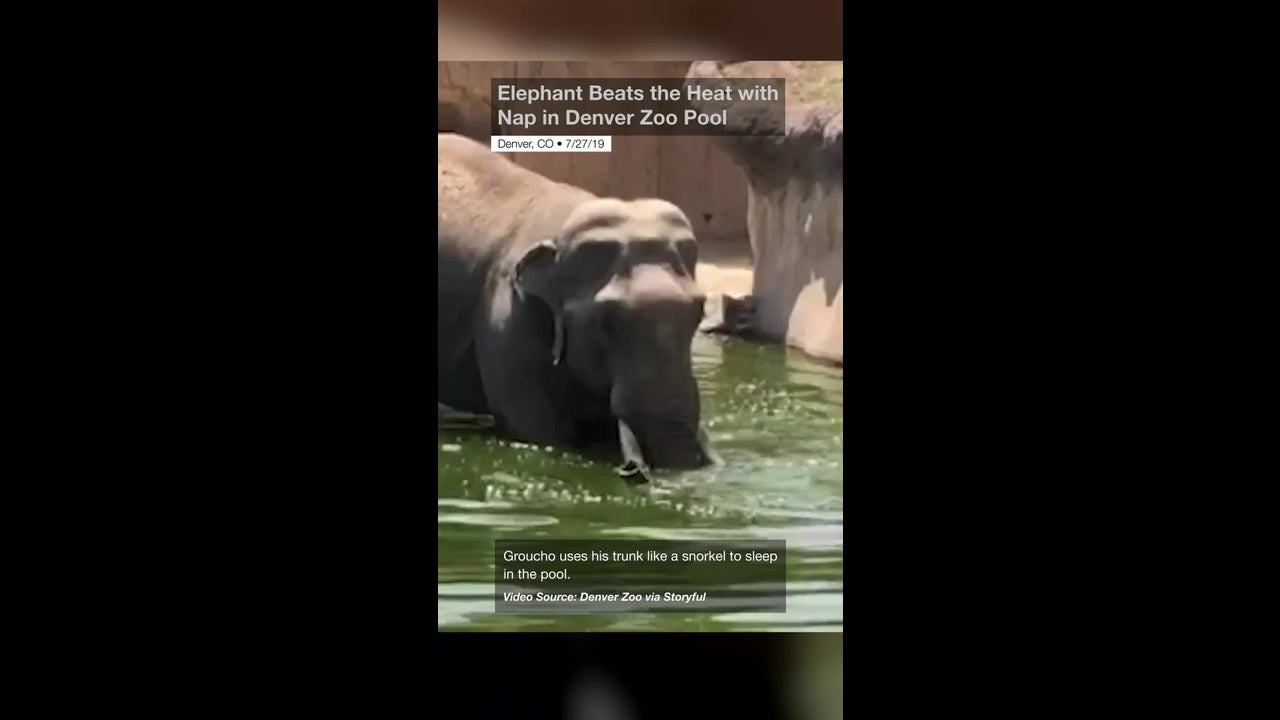 Elephant Beats the Heat with Nap in Denver Zoo Pool | The