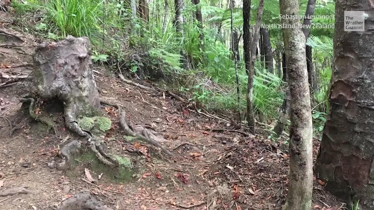 Er sollte abgestorben sein: Vampir-Baumstumpf hält sich überraschend am Leben