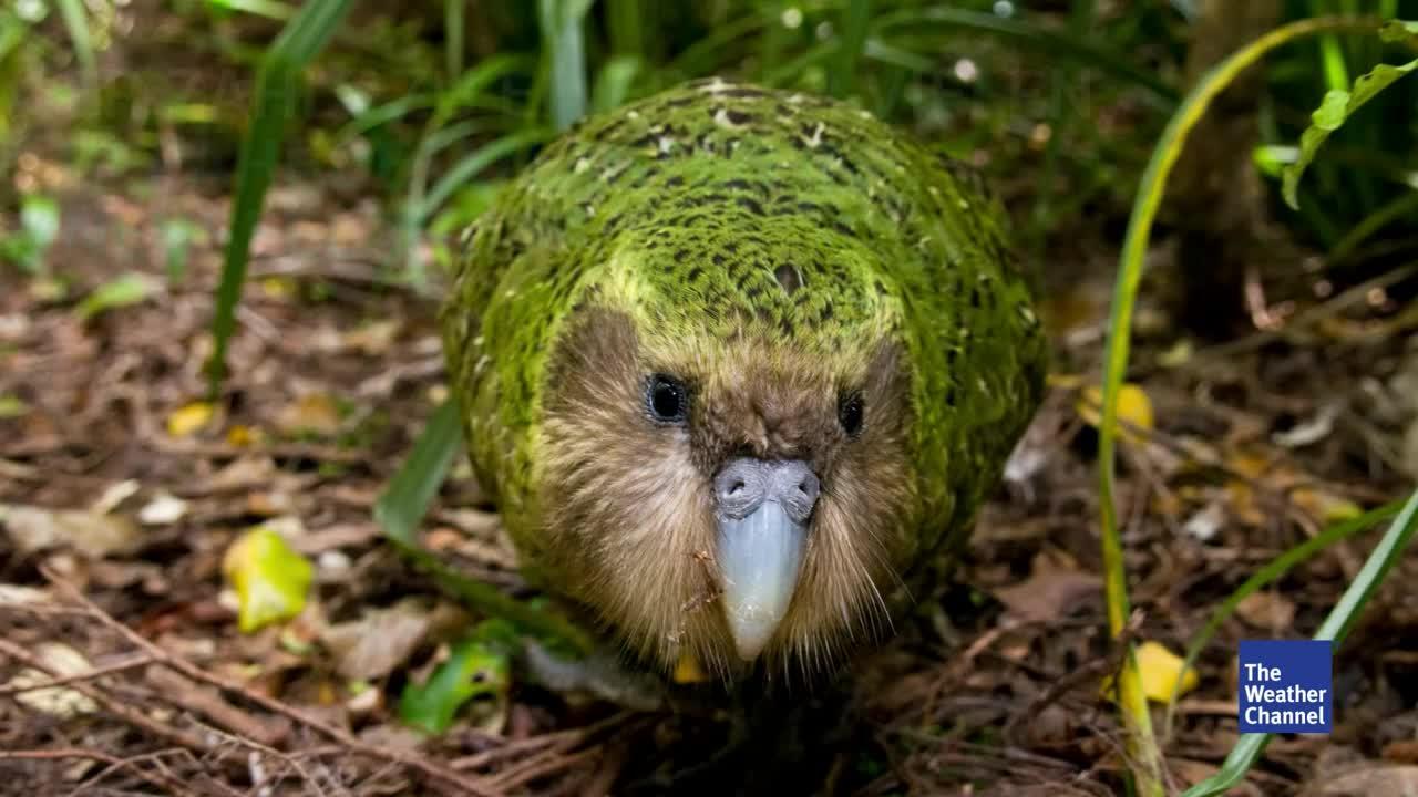 Verheerende Aussterbewelle in Neuseeland - Schuld ist der Mensch