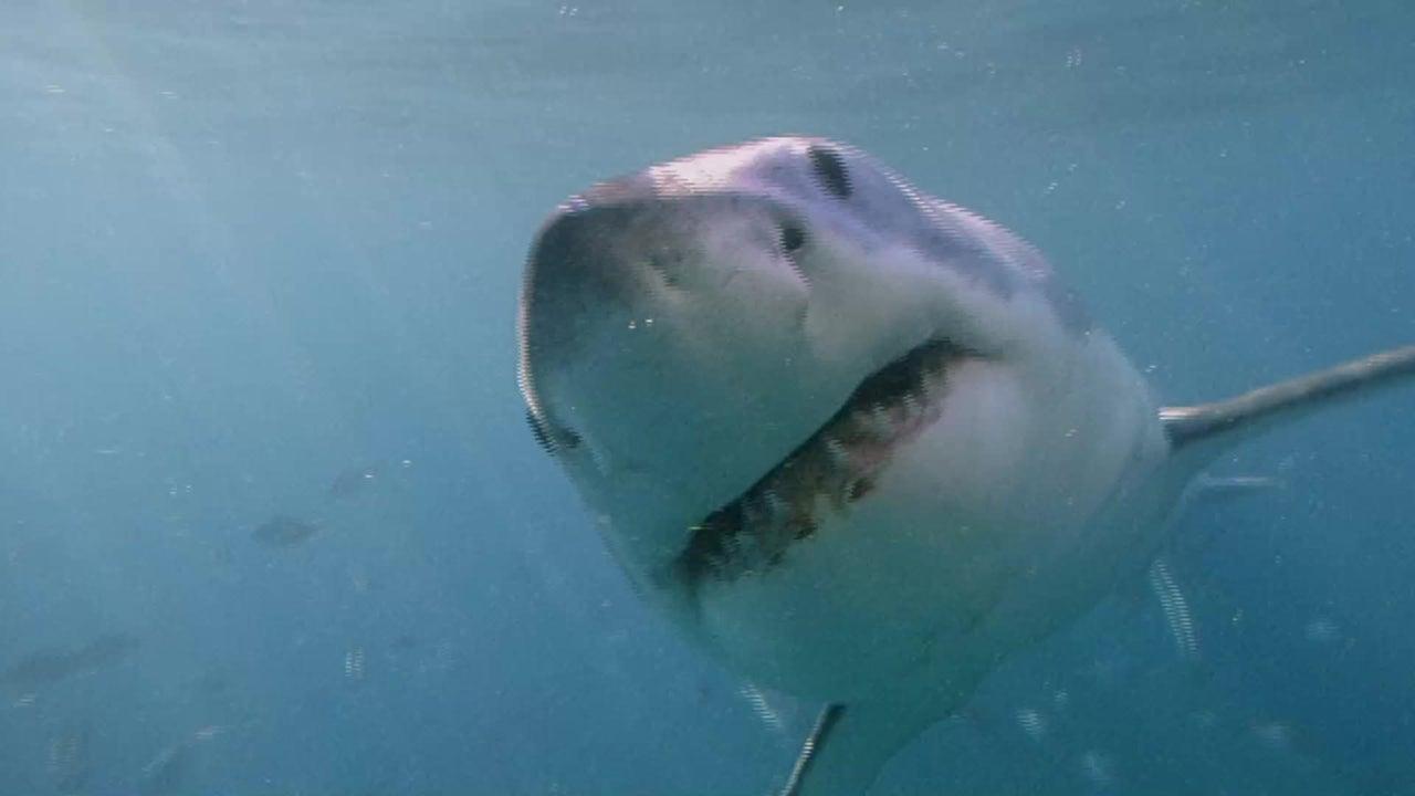 Sie haben einen elektrischen Spürsinn: 7 skurrile Fakten über Haie