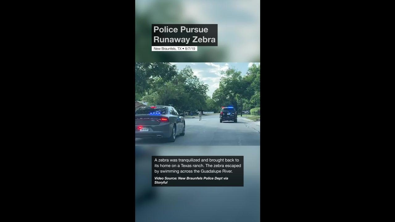 Police Pursue Runaway Zebra