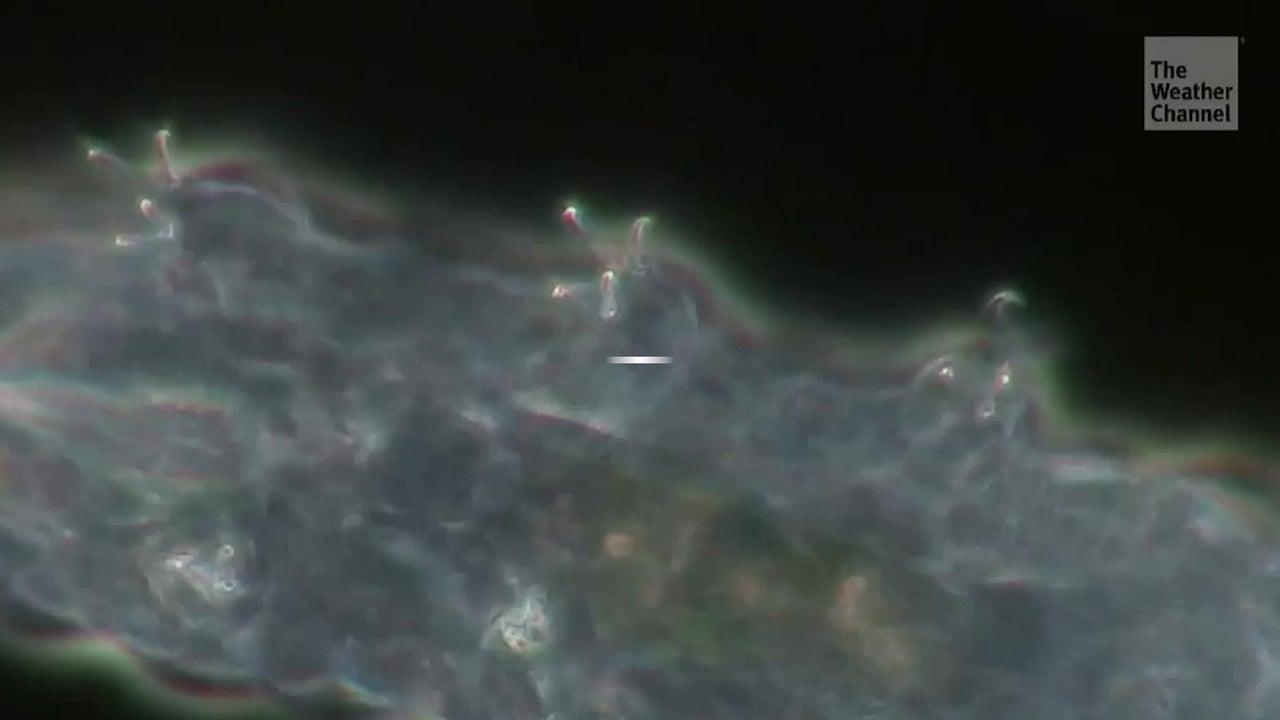 Microscópicos tardígrados llegan a la luna