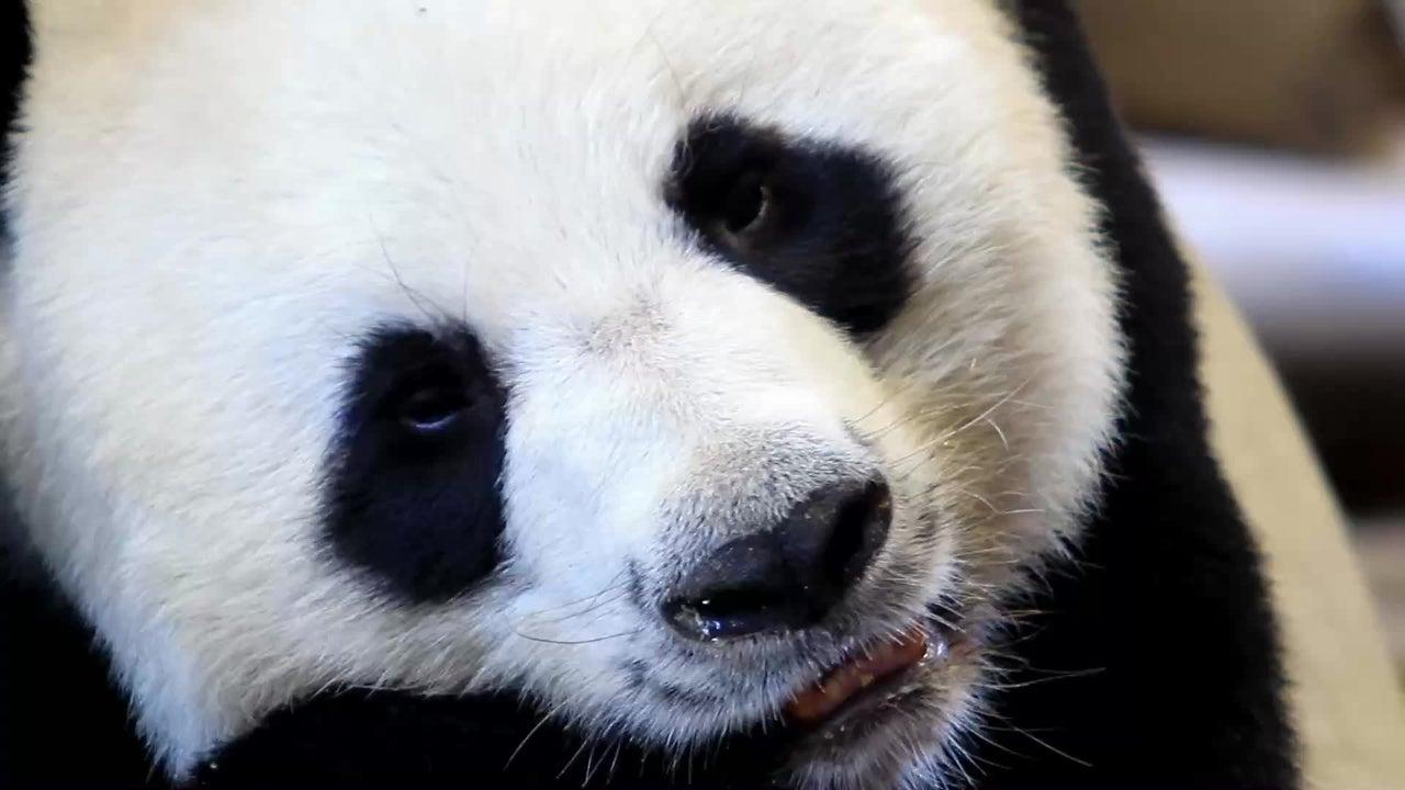 Ein Wildtierpark in Belgien hat die Geburt von Zwillingspandas bekanntgegeben. Die beiden kamen an einem ganz besonderen Tag zur Welt