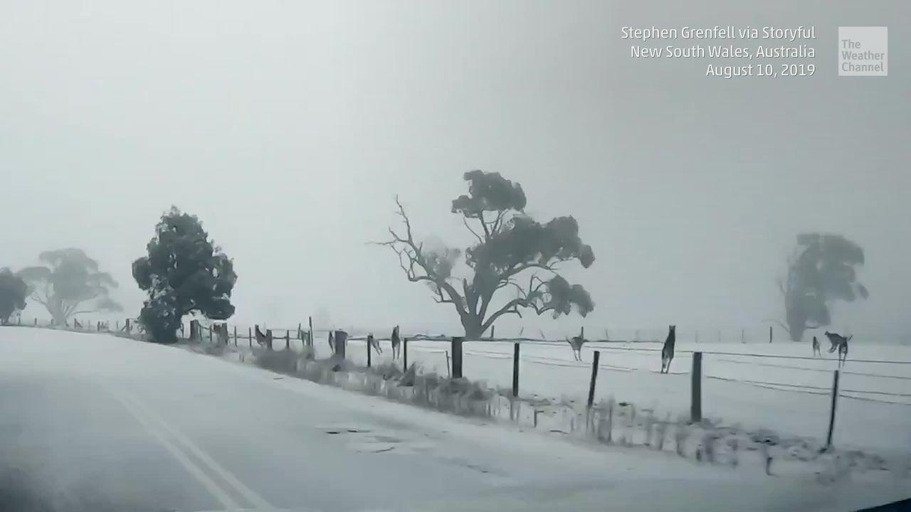 Mob of Kangaroos Frolics in Snow