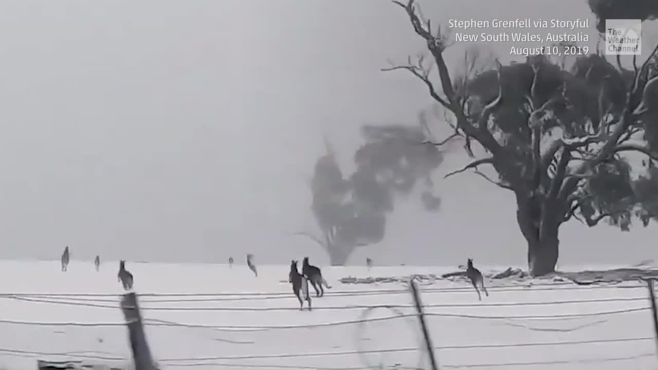 Im Südosten von Australien brachte ein Kälteeinbruch heftigen Schneefall. Die Kängurus scheinen sich zu freuen.