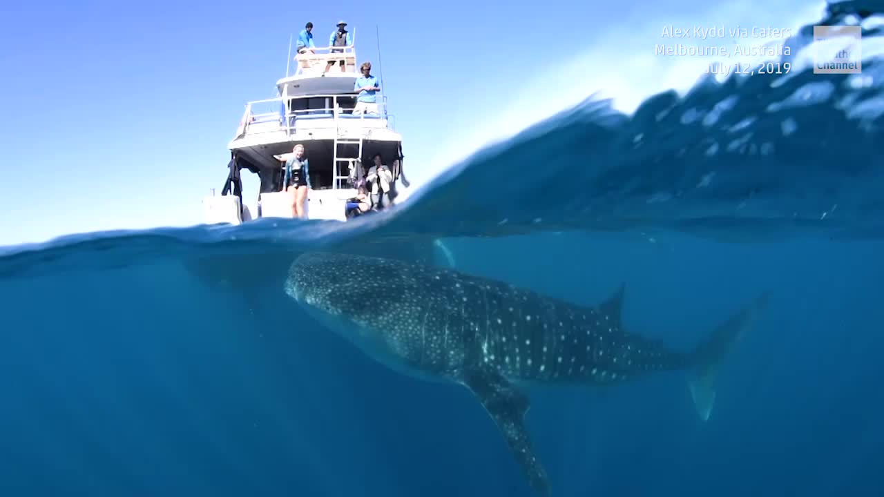 Curious Whale Shark Follows Boat off Australia