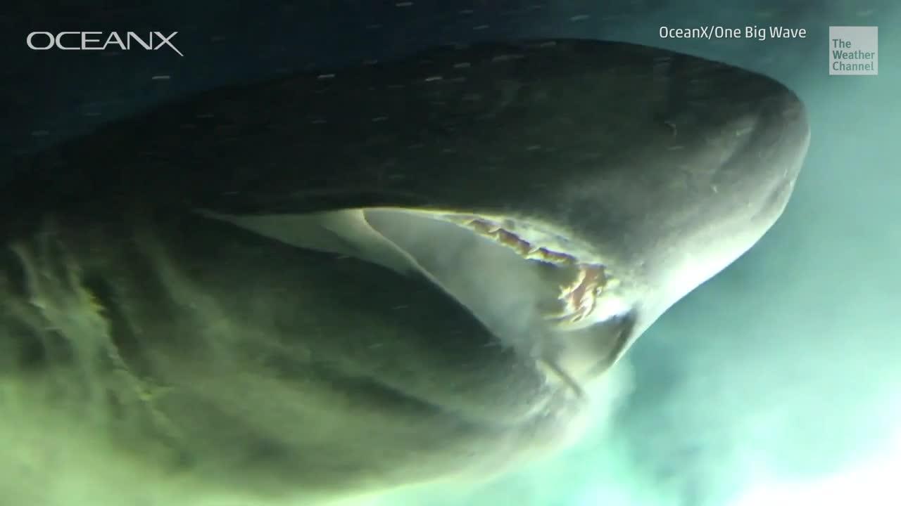 Ein riesiger Hai und ein U-Boot haben eine seltene Tiefseebegegnung. Die Forscher vermuten, dass es sich bei dem Tier um einen Stumpfnasen-Sechskiemerhai handelt. Eine besonders alte Haispezies.