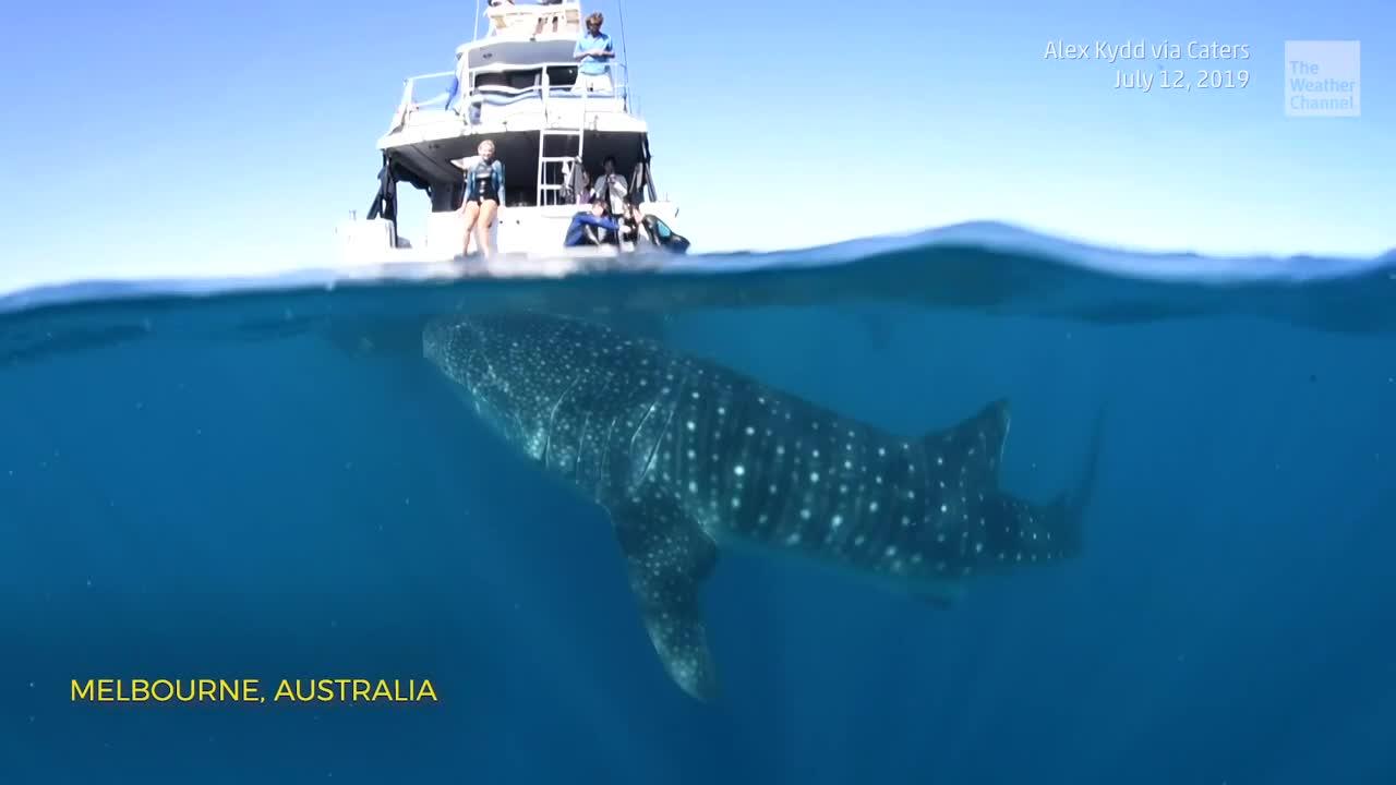 Gigante tiburón-ballena merodea un bote