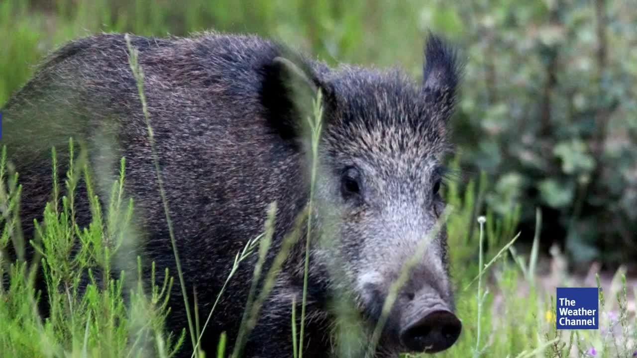 Sie vermehren sich schnell und richten großen Schaden an: Wildschweine werden nicht nur in Deutschland, sondern auch in vielen anderen Ländern zum Problem. Nicht nur die Ökosysteme und Landwirtschaft sind betroffen. Auch für Menschen können teils strahlenverseuchte Tiere zur Gesundheitsgefahr werden.