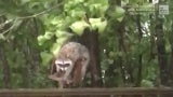 Raccoon Goes on a Ride in Dorian Winds While Stealing Food