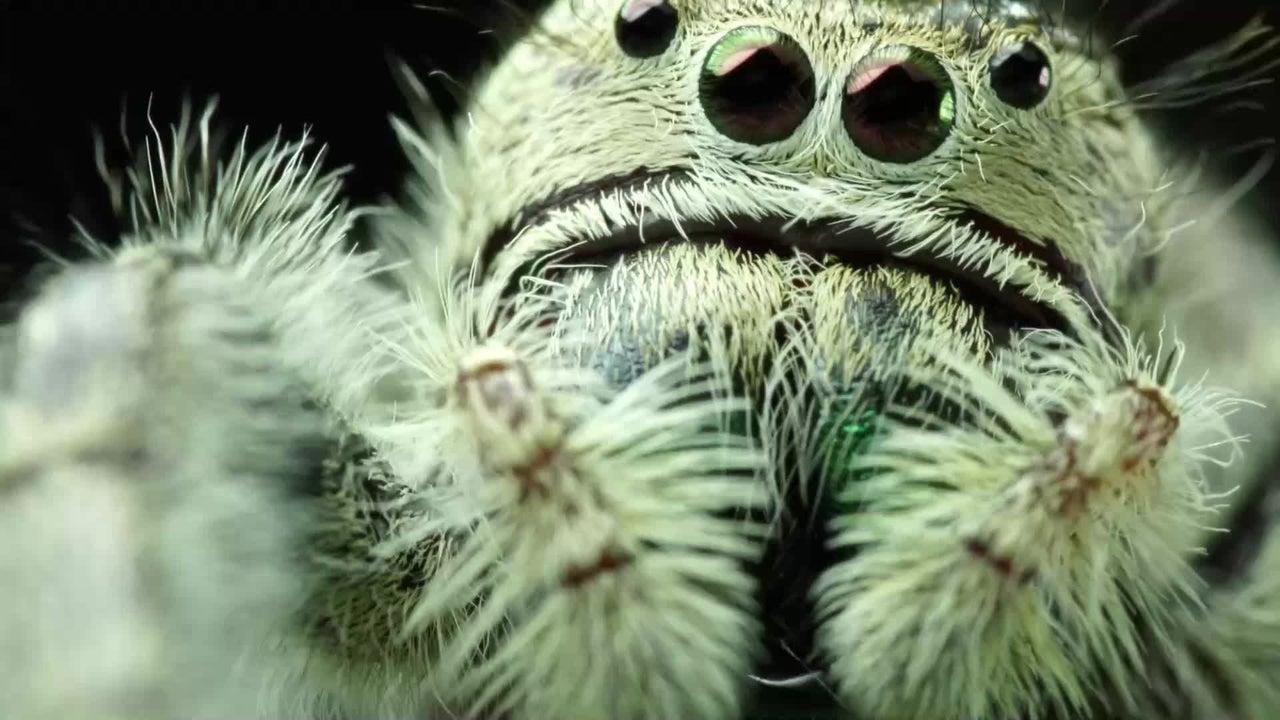 Forscher der kanadischen McMaster Universität haben herausgefunden, dass eine Kugelspinnen-Art deutlich aggressiveres Verhalten nach Hurrikans zeigt - um zu überleben.