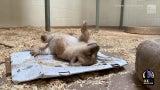 Waschbärdieb, Hängehund und Babylöwe: Die besten Tiervideos der Woche