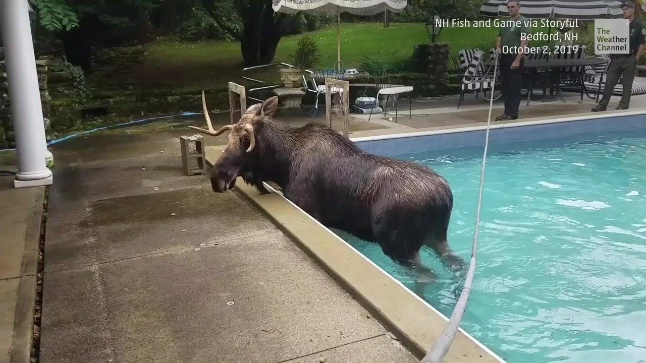 Ein Elch geht in einem Pool in New Hampshire überraschend baden. Er war wohl auf der Suche nach einer potenziellen Partnerin.