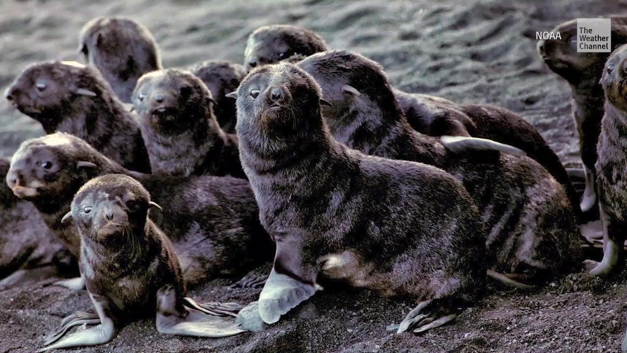 Zahlreiche Seelöwen haben wohl eine Vulkaninsel zu ihrem Heimatort gemacht. Forscher sind verblüfft, denn die Bogoslof Island formt die Spitze eines aktiven Unterwasservulkans.