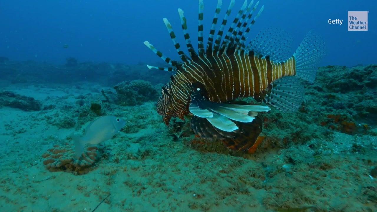 Remueven miles de peces león de las aguas de Florida