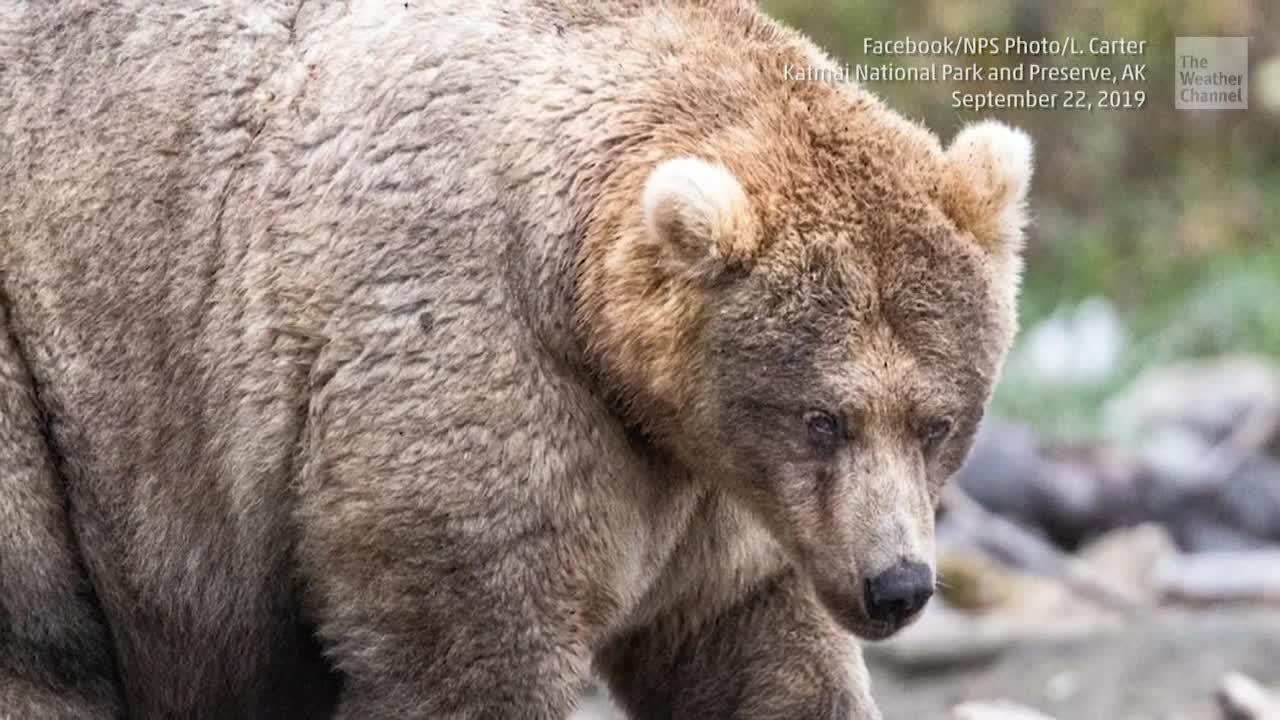 'Fat Bear Week' Winner Crowned