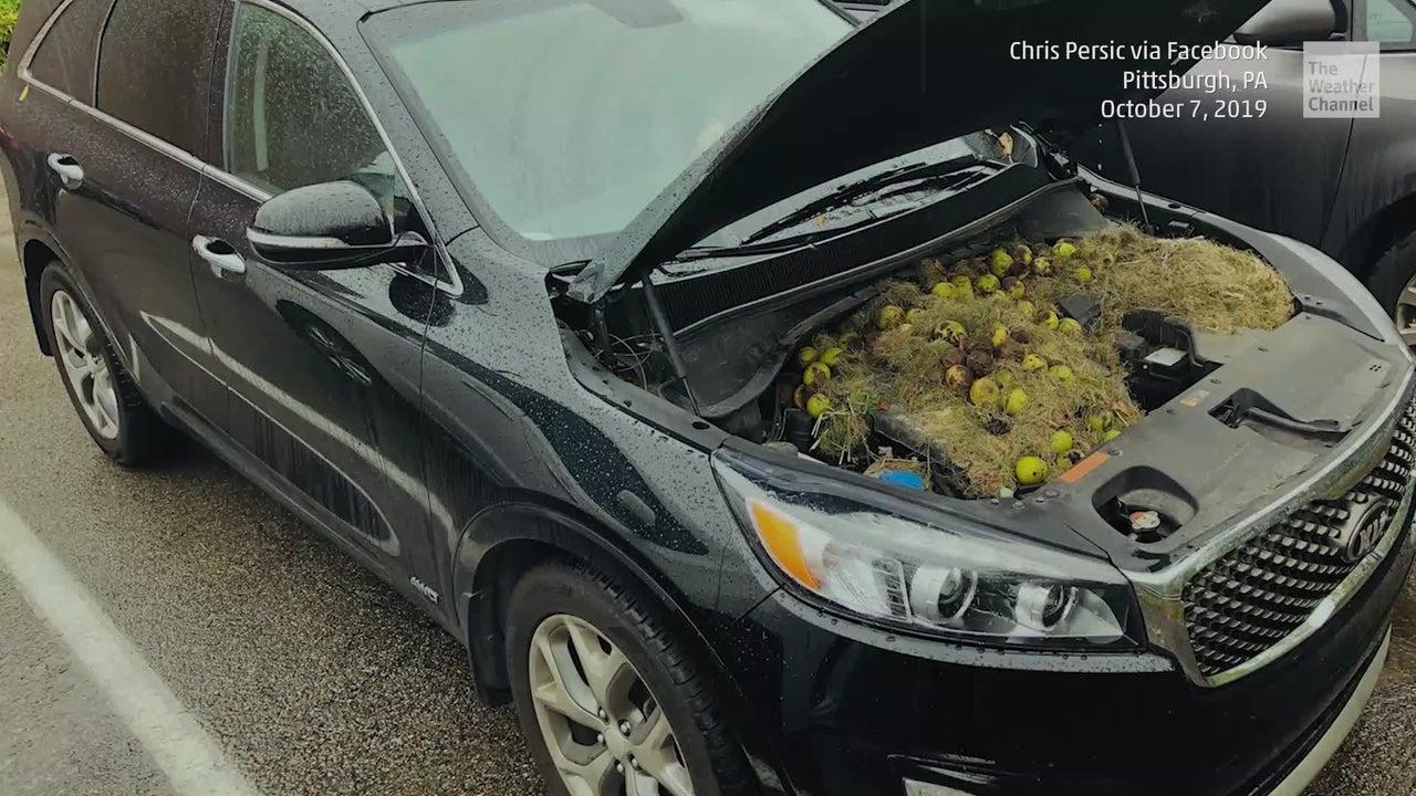 Als eine Frau im US-Bundesstaat Pennsylvania ihr Auto starten will, kommt ihr etwas komisch vor. Sie öffnet die Motorhaube und traut ihren Augen nicht, als sie sieht, was Nagetiere dort angerichtet hatten.