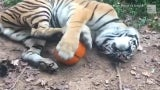 Video feroz: Tigre emocionado por Halloween