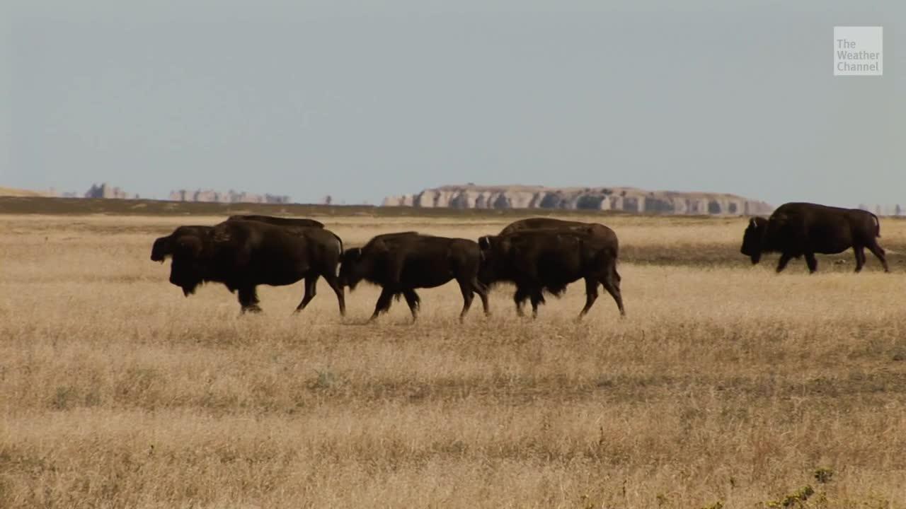 Activistas de vida silvestre recaudaron casi $750,000 para añadir 22,000 acres al Parque Nacional Badlands de Dakota del Sur para los bisontes.